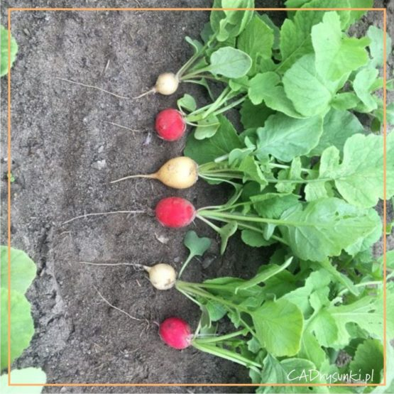 Fotografia prosto z pola rzodkiew zdrowa żywność czyli owoc i liście